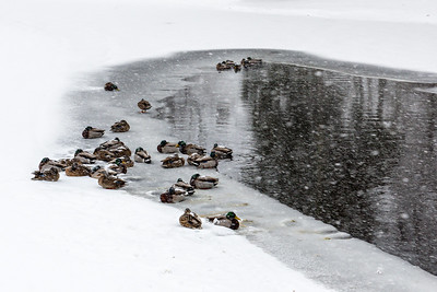 USA, Maine, Acadia National Park. Winter landscape with snow, ice, pond, and Mallard ducks.