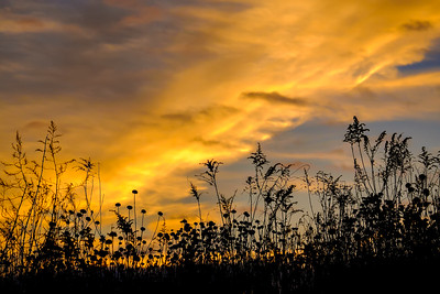 USA, Indiana. The Celery Bog wetlands at sunset with weeds in silhouette.