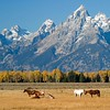 Horses and Grand Teton Mountains