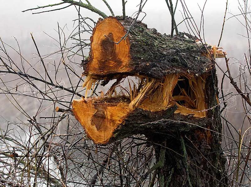 """""""Monster"""" Tree"""