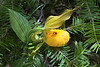 Yellow lady's slipper-2057