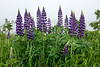 Lupins-2056