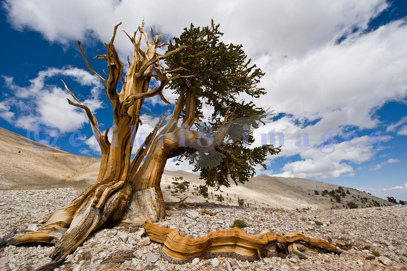 Bristlecone Pine National Preserve lies in the White Mountain Range between Eastern California and Western Nevada. From Big Pine, a charming small town on California State Highway 395, you follow Highway 168 East to the Preserve turnoff. A very windy narrow road leads up to the 9 mile rutted washboarded gravel road to Patriarch Grove  at 11,000 feet altitude. You can see the harsh environment in which they exist. It appears that the harsher the environment, the longer lived the species.