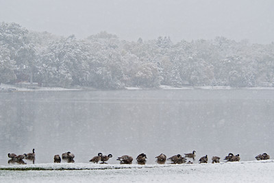 Canada Geese -Snowy Shoreline - Lake Josephine - Roseville, MN