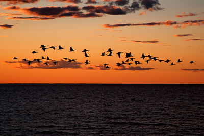 Canada Geese in flight - Door County, WI