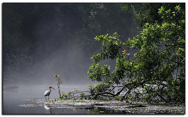 Ibis at at a cold natural spring steaming in a hot Florida morning