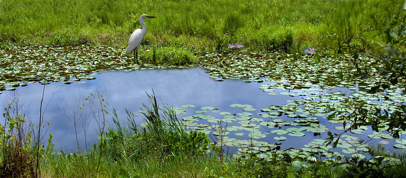Egret in the pond
