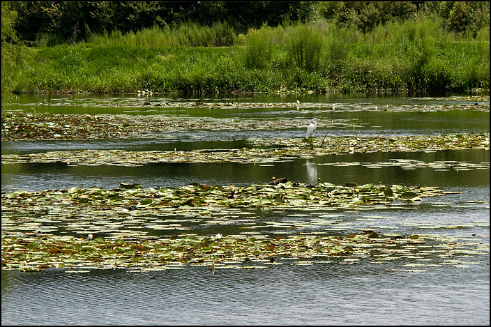 Egret on the lake