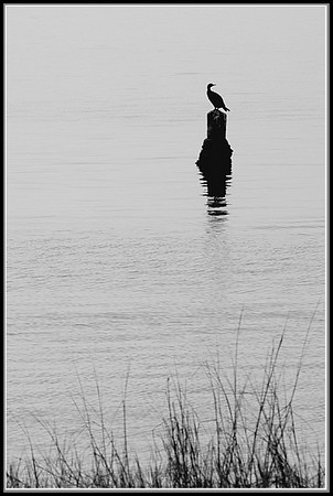 Cormorant in the Gulf