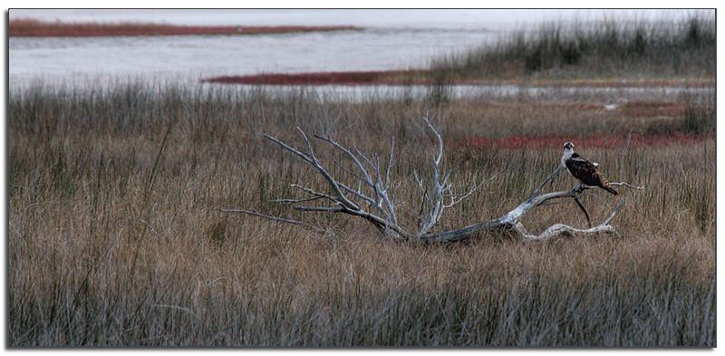 Osprey in tidal flats