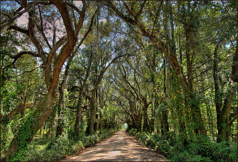 Canopy of trees over a dirt road, Madison County, Florida