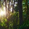 Description - Cypress Swamp <b>Title - Morning Fern</b> <i>- Grace Clarke</i>