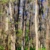 <b>Title - A Path Through Cypress</b> <i>- Herbert Paul Froehlich</i>