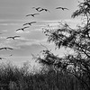 Description - White Ibis Flying by Cypress Tree <b>Title - Flight</b> <i>- Gwen Solomon</i>