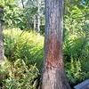 Description - Cypress Tree and Ferns on Cypress Swamp Boardwalk <b>Title - Bobcat's Scratching Post</b> <i>- Barry Mintzer</i>