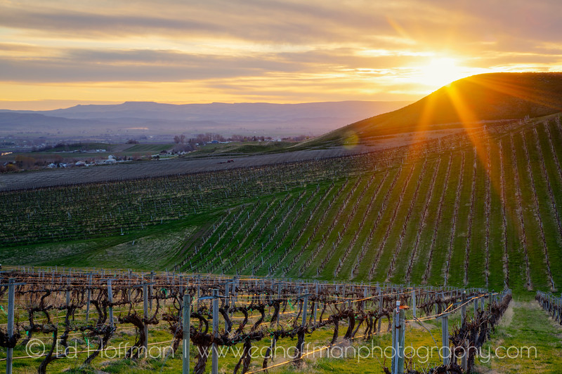 Vinyards in the sunset