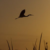 Description - Great Egret In Flight At Sunset <b>Title - Sunset Flight</b> <i>- Matt Claiborne</i>