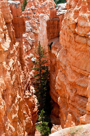 Full grown pine giving some scope to the canyon