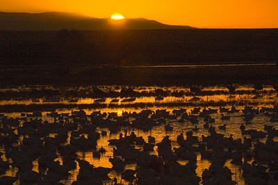 Snow Geese at Sunrise - Bosque del Apache NWR - NM