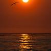 Brown Pelican Near Sunset