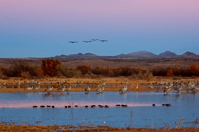 Sandhill Cranes at sunset - Bosque Del Apache NWR - NM