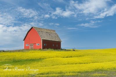 Red Barn in Mustard Field