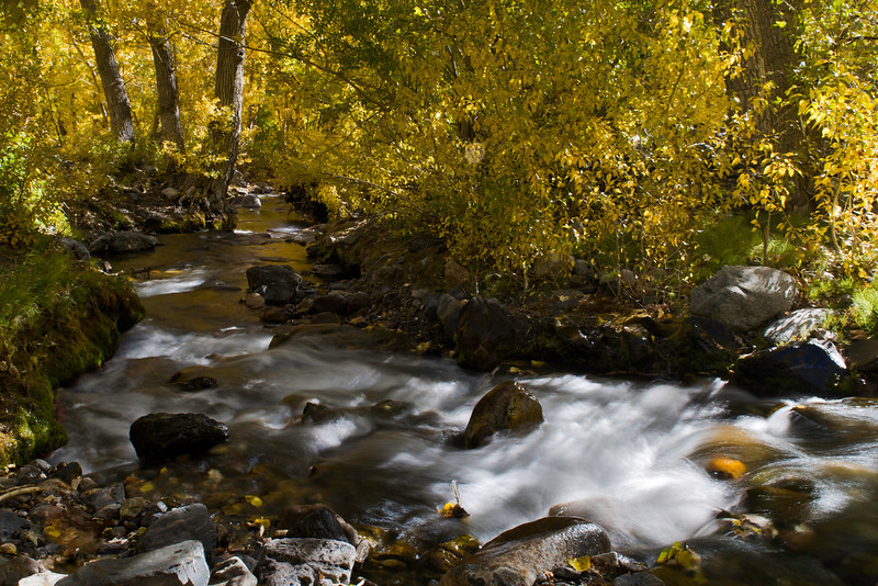 Golden quaking aspens midmorning in the Eastern Sierras (14 degrees*7600' elevation) along McGee Creek in the canyon of the same name October 4, 2013.