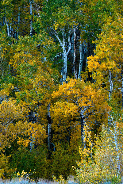 Golden quaking aspens in the early morning in the Eastern Sierras (14 degrees*7600' elevation) along McGee Creek in the canyon of the same name October 4, 2013.