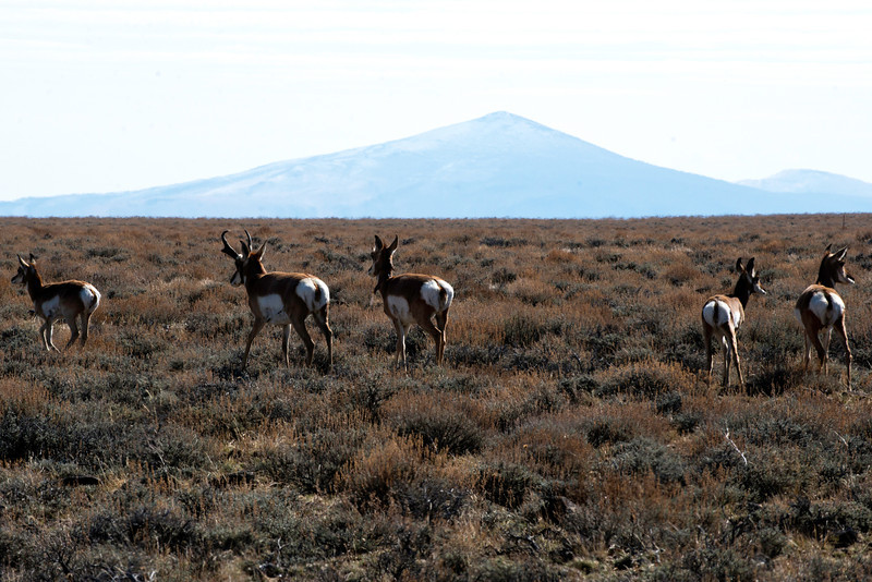 Antelope roam freely in the Hart Mountain National Antelope Refuge near Plush, Oregon in early afternoon of October 10, 2013.