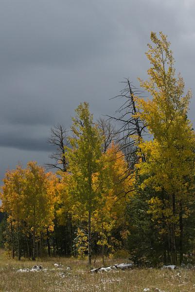 Golden quaking aspens along highway 191 north of Vernal, Utah on September 25, 2013.