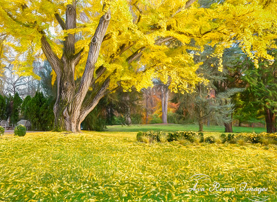 The Old Ginkgo Tree