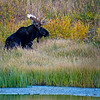 Moose foraging late afternoon