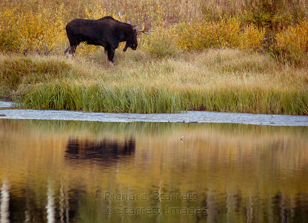 Moose reflected in Willow Lake