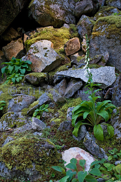 Foxgloves dot the mossy boulders from a long ago rockslide.