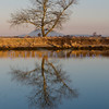 In the sweet light of an early February morning this tree appears silhouetted in the slough formed by a Skagit County dike.