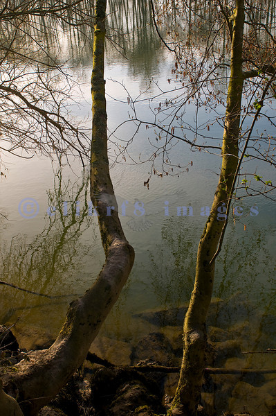 These two trees were reflected in the Skagit River.