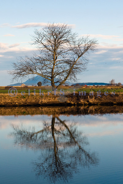 Another shot of the tree that stands alone on a Skagit Valley dike's bank silhouetted during the flood of high tide.