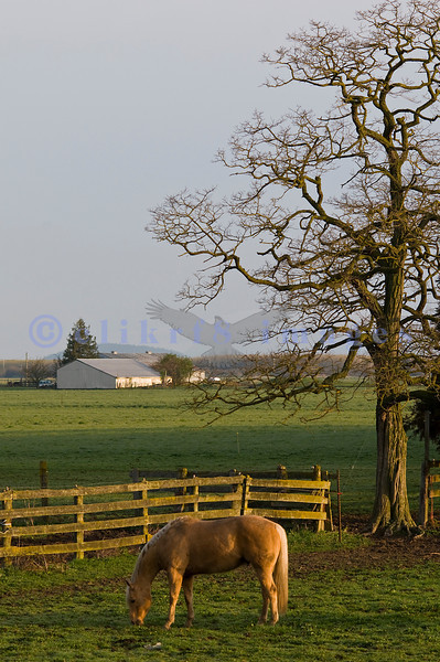 After discovering the tulips weren't quite open, we headed west toward Laconner to see what we could see. We came upon these horses grazing in the bucolic Skagit Valley in the early morning light.