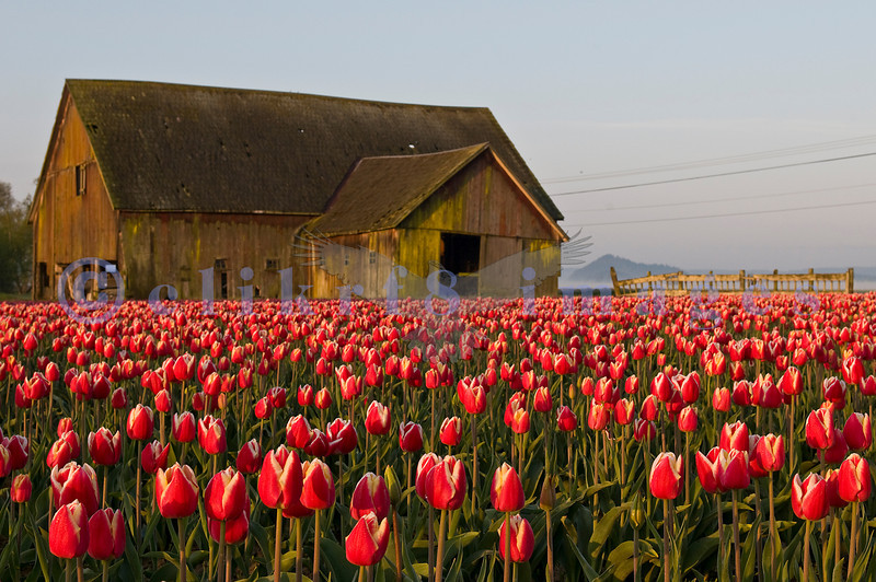 The many colors of the Skagit County tulips.