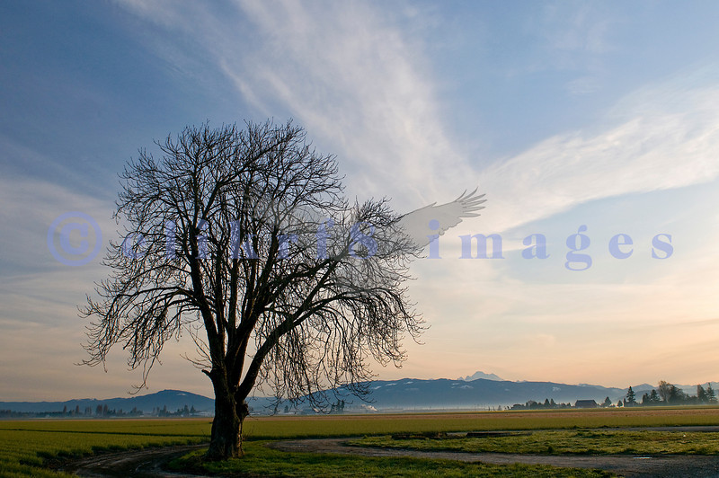 Another shot grabbed while venturing in Skagit county. This tree was lit up by the sun rising over the foothills that look over the Skagit Valley farmland.