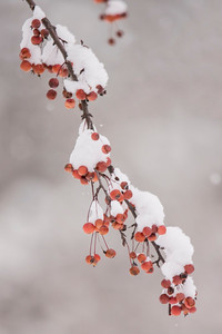 Crabapples and Snow - 02 - Roseville, MN
