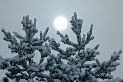 Snowy pine trees and sun - County Park - Roseville, MN