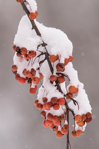 Crabapples and Snow - 01 - Roseville, MN