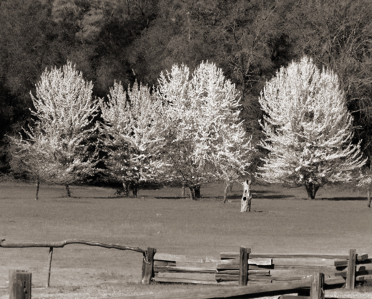 """SGC-032104-01-sepia  """"Monroe Orchard in Spring""""  Marshall Gold Discovery State Historic Park, Coloma, California.  Sepia-toned image."""
