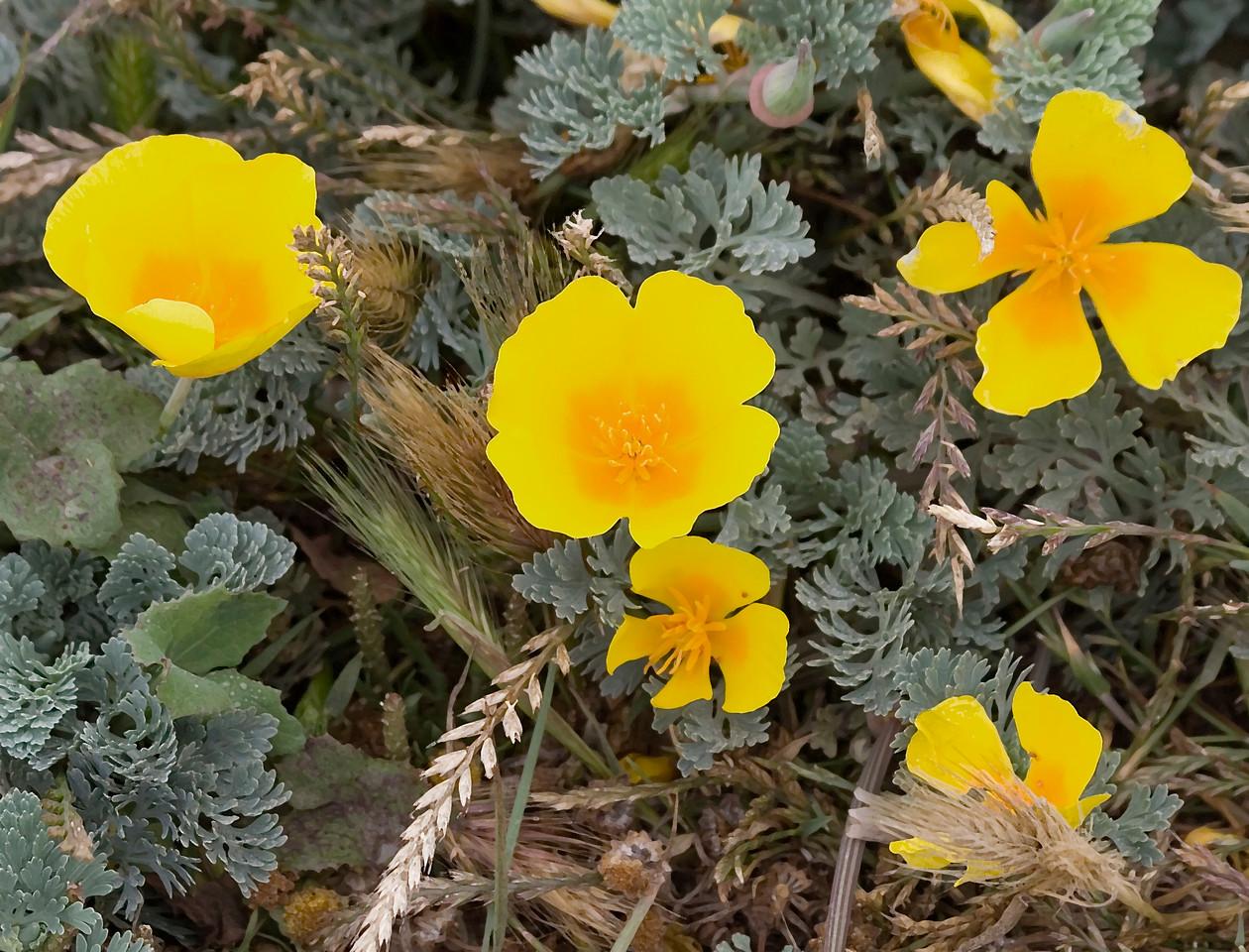 California Poppies, Bodega Bay (digital painting from photograph)