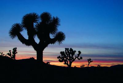 Joshua Trees silhouetted against a setting sun, Joshua Tree National Park, California