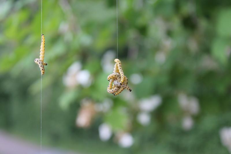 Räuplitreff, Caterpillars Meeting