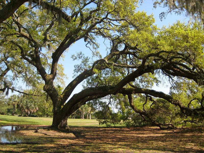 Alte Eiche , Old Oak