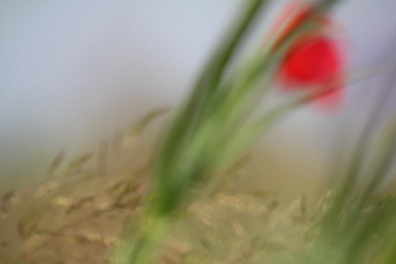 Bewegter Mohn, Moved Poppy Flower