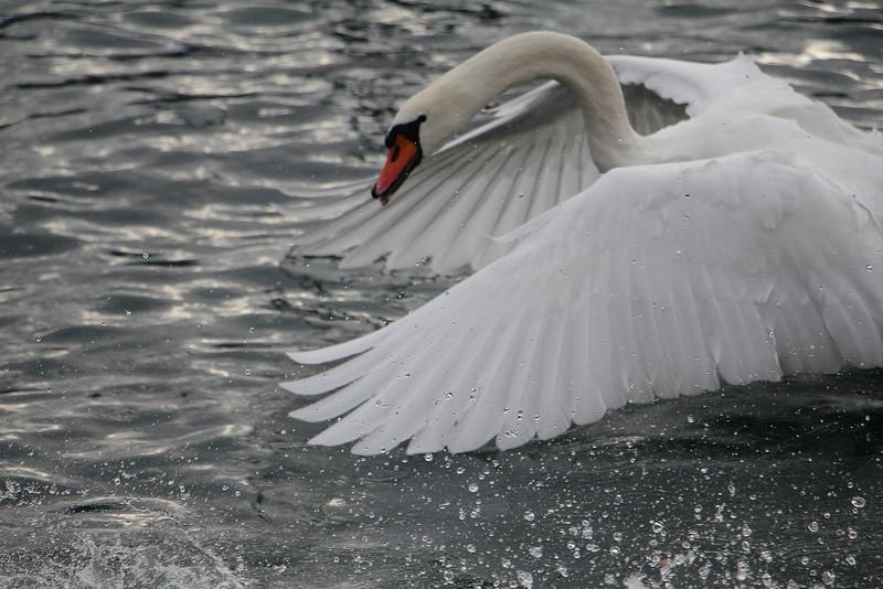 erschöpfte Schwanschönheit, exhaustet Swanbeauty